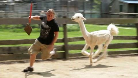 Hostile Llama-Alpaca Hybrid Headbutts Unwanted Visitor