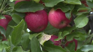 New guidelines for apple picking in Niagara County