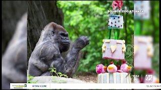 Oldest gorilla celebrates 60th birthday