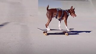 Skateboarding rat terrier shows off gnarly moves