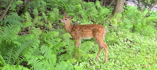 Brave fawn