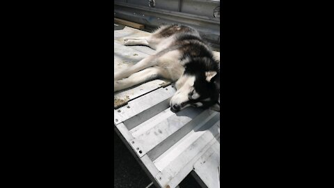 Husky sleeps anywhere