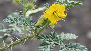 Buffalo bur! This Arizona plant can kill you and your pets