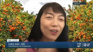 Researchers look to fight off citrus greening