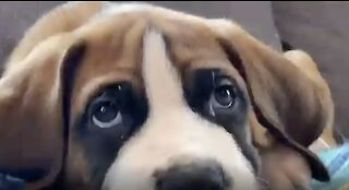 Three Massive St. Bernard's Under One Roof Is Adorable!