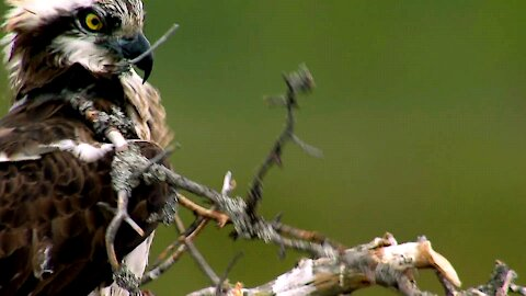 Bird Nest Building Hilariously Gone Wrong
