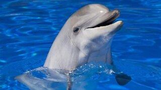 beautiful dauphin with a calm music