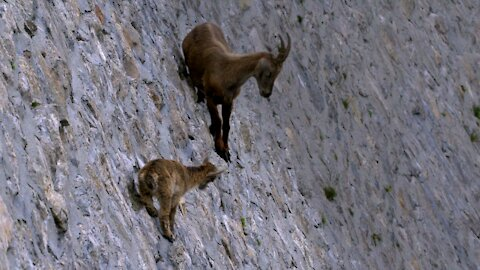 Mother goat teaches her kid a lesson in cliff climbing