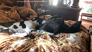 Puppy adorably snuggles on top of Great Dane