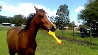 Horse loves playing with rubber chicken