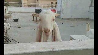 Un voisin chaque jour salué par trois chèvres