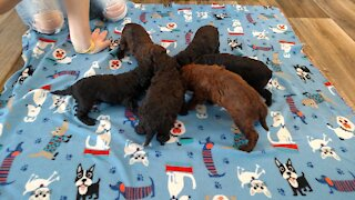 Poodle Puppies Tasting Solid Food For The First Time
