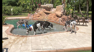 Pack of Great Danes enjoy relaxing Florida pool time