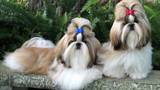 Cutest twins Dog With Brilliant Hairstyle