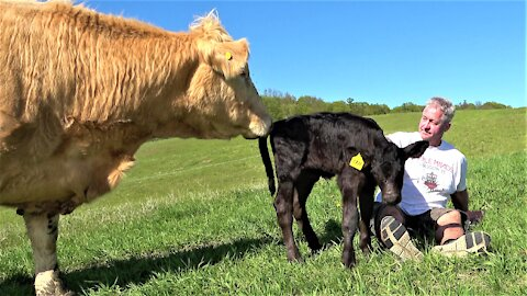 """Cow comes to pick up calf from """"babysitter"""""""