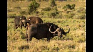Búfalos enfrentam leões para salvar elefante bebé