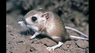 Mind Blowing Facts : Kangaroo Mouse