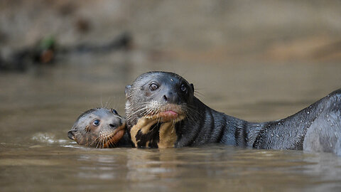Otter Family Fight For Survival Against Jaguar Attack | SNAPPED IN THE WILD