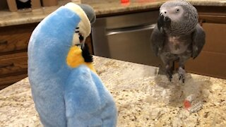 Parrot goes toe-to-toe with toy parrot nemesis