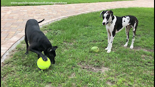 Great Danes Have Fun Playing With Giant Tennis Ball And Watermelon