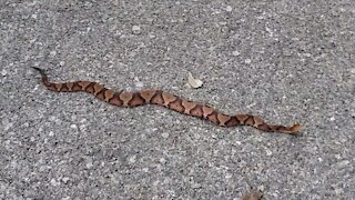Beautiful Copperhead Snake Up Close! Would you have run it over!?