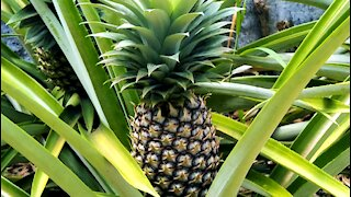 FRUIT: Growing Pineapples in the backyard
