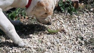 Labrador VS Lizard