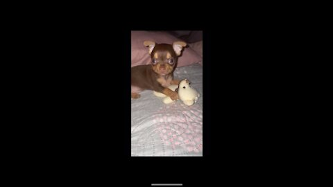 Little chihuahua playing with his stuffed animal for the first time