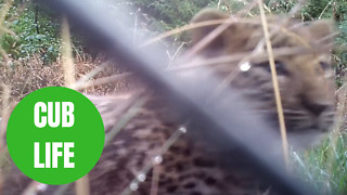Amazing footage shows two of the rarest cats on camera for the first time