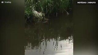 Gato atravessa rio a nado para brincar com amigos!