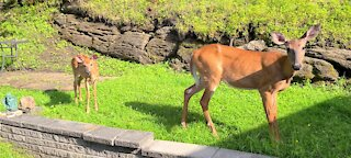 Mother brings fawn to show him off