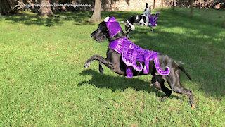 Great Dane takes off running in her octopus Halloween costume