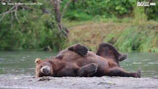 Cet ours préfère dormir que chasser !