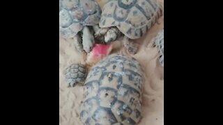 Beautiful turtles eat watermelon.