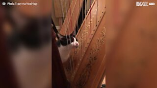 """Cat """"plays"""" harp with tongue"""