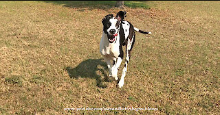Funny Running Great Dane Misjudges His Stopping Distance