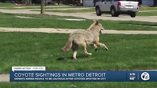 Experts asking people to be cautious after coyotes spotted in metro Detroit