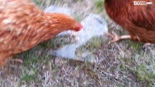 Des poulets intrigués par de la glace
