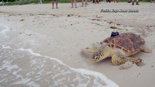 Rare sea turtle released into the ocean