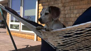 Beagle in a Hammock