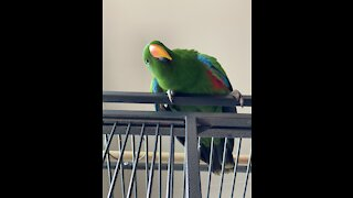 Eclectus Parrot loves to play peekaboo with his owner