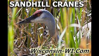 Sandhill Cranes Adults Eggs All Seasons Video - Landman Realty LLC