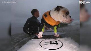 Cão surfista regressa às ondas antes do nascer do sol!