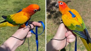 Parrot trained to wear harness while outdoors