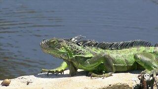 Ocean Ridge has great success with iguana control program