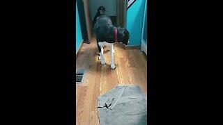 Strange doggy prefers to walk backwards instead of turning around