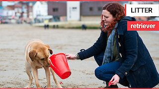 Meet the litter-picking Labrador that LOVES cleaning beaches!