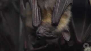 What do you know about bats? Hang in there for these 5 facts