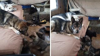 Puppies desperately try to make contact with their high-energy dad