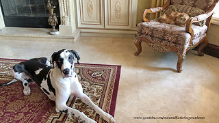 Amused Cat Watches Great Dane Confuse Sit and Lie Down
